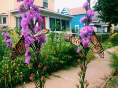 The butterflies loved these flowers outside my house